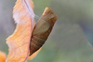 Бабочки зимуют