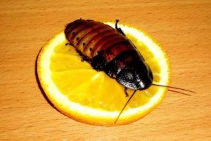 Питаются тараканы