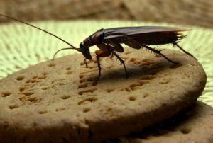 Тараканы едят
