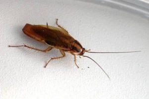 Рыжие тараканы в квартире