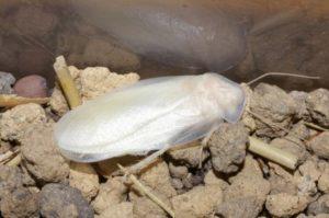 Откуда берется белый таракан в квартире и как с ним бороться
