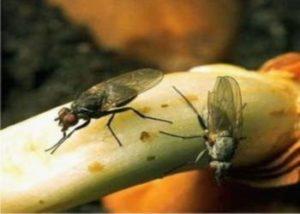 Как можно избавиться от луковой мошки