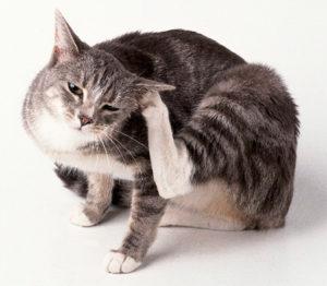 Как эффективно избавить кошку от блох в домашних условиях