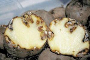 бороться с картофельной молью