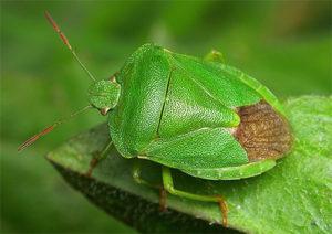 зелёный клоп