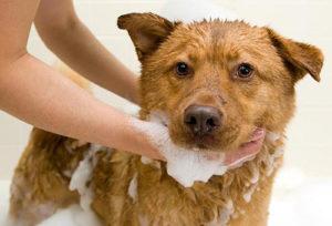 Какой шампунь от блох для собак выбрать