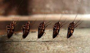 Как именно размножаются тараканы в жилище