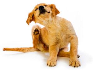 Как можно эффективно вывести блох у собаки