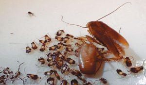 Личинки тараканов