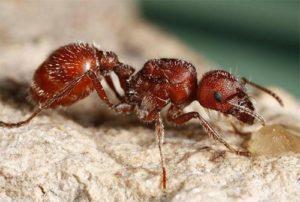 Красные муравьи