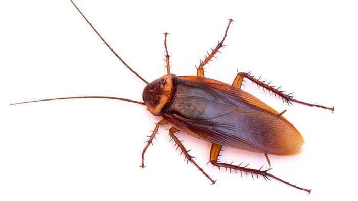 Как выглядят тараканы