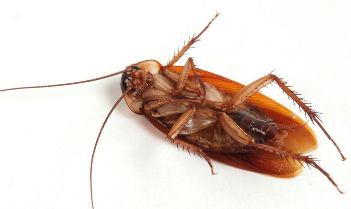 Как выглядят тараканы фотография